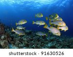 Oriental sweetlips in the tropical waters of the maldives - stock photo
