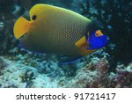Blueface angelfish in the coral reef - stock photo
