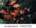 Whiteedged soldierfish in the coral reef - stock photo