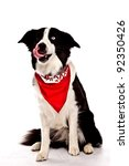 Border Collie in front of a white background with red banana on one blue eye one brown eye - stock photo