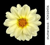 White Dahlia Flower with Yellow Center Isolated on Black Background - stock photo