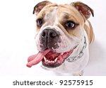 closeup of an english bulldog's face over white background - stock photo