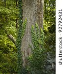 """""""Ivy on Tree"""" Ivy growing up on a large tree in this Summer woods in Central New Jersey. - stock photo"""
