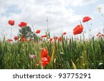 wild red poppies growing on a wheat field - stock photo