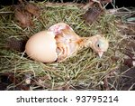 Birth of a yellow little chick out of its egg - stock photo