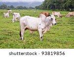 Bull Cattle - stock photo
