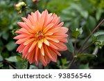 Colorful dahlia flower in a garden. - stock photo
