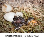 Birth of a dark colored little mallard duckling - stock photo