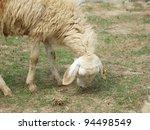 grazing sheep - stock photo