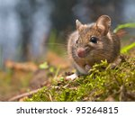 Wild wood mouse in natural habitat - stock photo