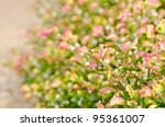 color pink leaf weed  in the miracle nature or in the garden - stock photo