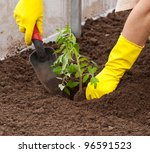 Closeup of planting tomato seedling in ground - stock photo
