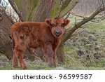 highland calf - stock photo