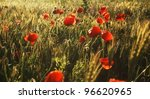 Wild red poppies on a wheat field in summer time - stock photo