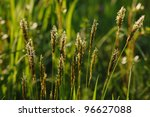 Blooming grass in a summer meadow. - stock photo