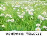 Beautiful wild daisies growing on a grass field. - stock photo