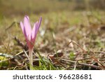 Beautiful purple crocus close up, blooming on a pasture in the Carpathian mountains. - stock photo