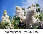 Ornamental tree, white lilac in springtime. - stock photo