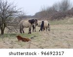 Polish konik horses in the wild in the netherlands - stock photo