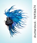 betta pet fish, Siamese fighting fish on blue background - stock photo