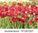Red Tulip Flowers,Close Up - stock photo