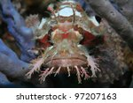 Raggy scorpionfish in the coral reef - stock photo
