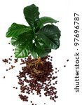 young coffee arabica plant with roots immersed in beans. isolated on white - stock photo