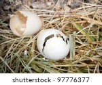 Baby duckling hatching out of his egg - stock photo
