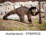 Monkey spider - stock photo