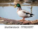 The duck male - stock photo