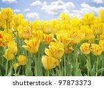 Yellow Tulips Against A Blue Sky - stock photo