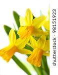 Spring yellow flowers on a white background. - stock photo