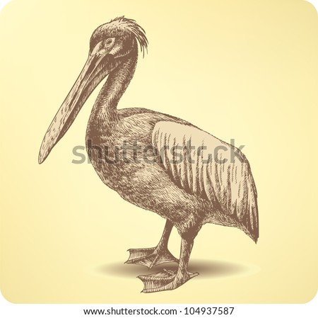 pelican bird  hand drawing