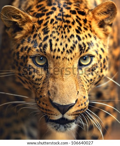 stock-photo-leopard-portrait