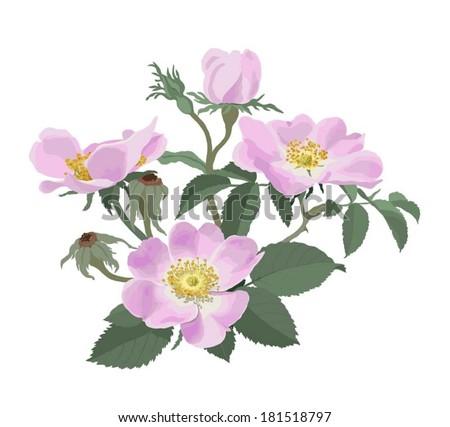 wild roses  rosa canina    hand
