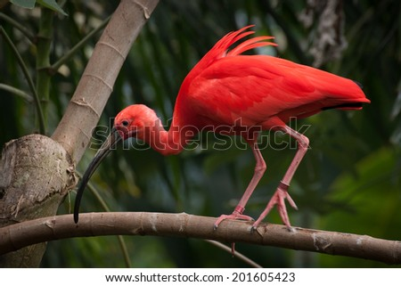 a scarlet ibis walking along a