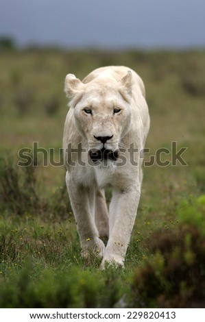 a white lioness looking