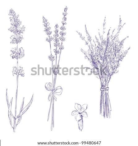 lavender pencil drawing vector