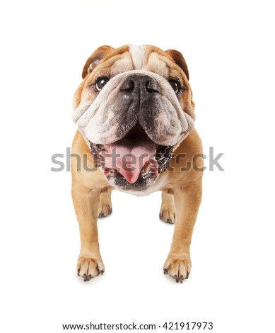 a big bulldog begging isolated on a white background  - stock photo