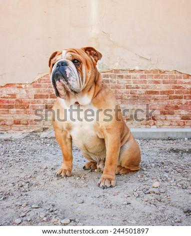 a bulldog posing in an alley  - stock photo