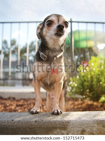 a chihuahua in a public pool  - stock photo