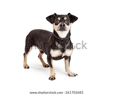 A curious Chihuahua and Dachshund Mixed Breed Dog standing while looking into the camera.  - stock photo