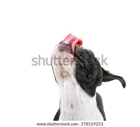 a cute baby boston terrier on a white background with her tongue out - stock photo