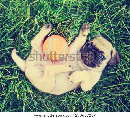 a cute baby pug chihuahua mix puppy playing with an orange tennis ball in the grassy clover during summer toned with a retro vintage instagram filter app or action effect - stock photo