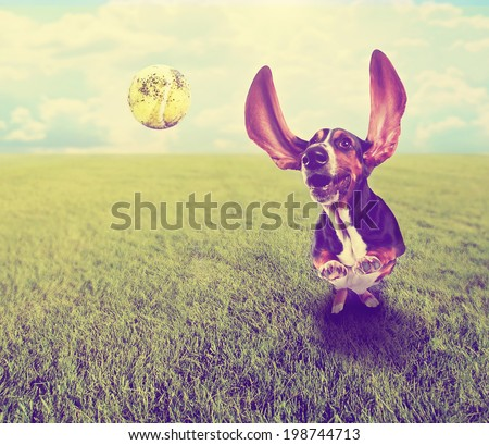 a cute basset hound chasing a tennis ball in a park or yard on the grass done with a retro vintage instagram filter  - stock photo