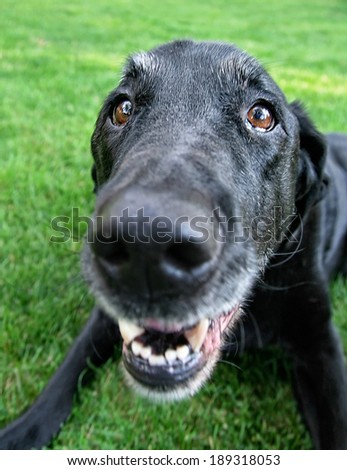 a cute black lab at a local park or backyard - stock photo