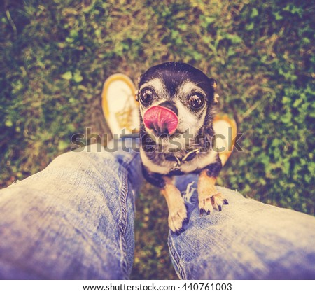 a cute chihuahua begging to be picked up in a backyard or park lawn with super green grass during summer time toned with a retro vintage instagram filter app or action effect - stock photo