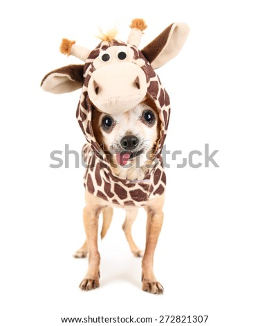 a cute chihuahua in a giraffe costume isolated on a white background studio shot portrait  - stock photo