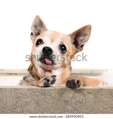 a cute chihuahua in a suitcase with his tongue sticking out (SHALLOW DOF on tongue/mouth) - stock photo
