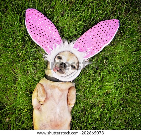 a cute chihuahua laying in the grass with his tongue out and bunny ears on - stock photo